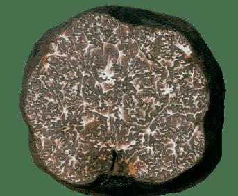 Tuber Macrosporum Vittadini (Gleba)