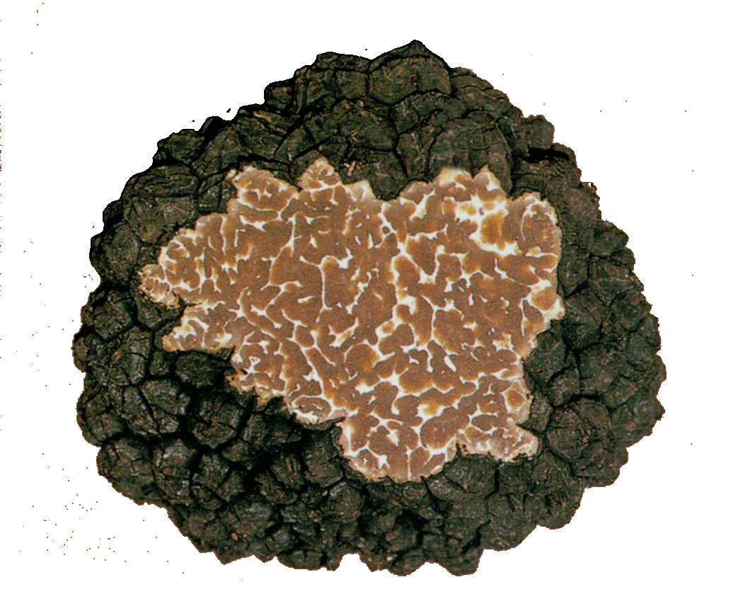 Tuber aestivum Vittadini (Gleba)