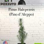Vetrina Pinus Halepensis