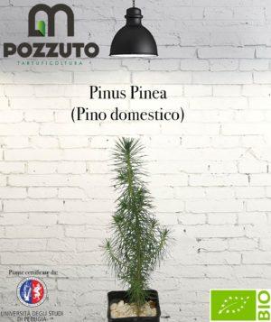 Vetrina Pinus Pinea