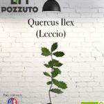 Vetrina Quercus Ilex