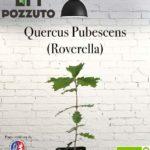 Vetrina Quercus Pubescens